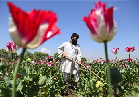 An Afghan farmer works on a poppy field in the Khogyani district of Jalalabad, east of Kabul, Afghanistan