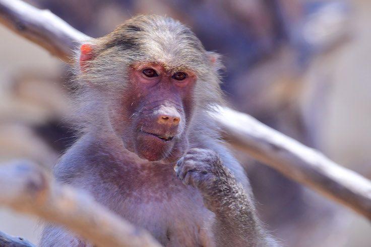 UAE-baboon